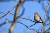 Western Bluebird (female) (Minder Cheng) Tags: westernbluebird brionesregionalpark martinez california unitedstates us