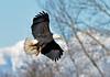 DB6_4659 (DouglasJBrown) Tags: baldeagles birdsinbc djbphotocom nikonafsnikkor300mmf28gedvrii wings wildlife boundarybay flight