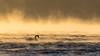 Cygnus olor - Lone seafarer on the winter sea (Olli_Pihlajamaa) Tags: anatidae animalia anseriformes aves cygnus cygnusolor vertebrata eläinkunta joutsenet kyhmyjoutsen linnut selkärankaiset sorsalinnut sorsat helsinki uusimaa finland fi winter sea sunlight merisavu meri lauttasaari water waves aallot mist usva loneliness yksinäisyys talvi