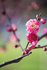 Prunus mume (houroumono) Tags: prunusmume flower ウメ