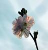 Translucent Beauty! [Explored!] (RiverCrouchWalker) Tags: blossom december 2016 winter flowers waterdroplets hertfordshire hertford harthamcommon winterfloweringcherry