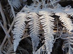 Adlerfarn (Marie van Keule) Tags: deutschland germany meckpomm mecklenburgvorpommern insel rügen binz 2017 januar winter schnee snow ostsee pflanze pflanzen raureif eiskristalle eis eiskristall