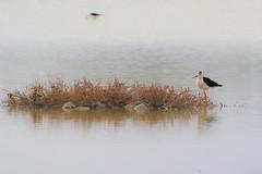 échasse (jfparmentier) Tags: bird échasse animal blackwinged stilt