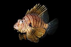 Lionfish (quickpro383) Tags: lionfish underwater aquarium nature zoo nikond7200 fins