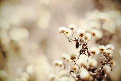 pon pon weed (N.sino) Tags: xt1 summiluxm50mm weed 雑草 綿毛 神代植物公園 ポンポン