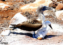 Care (Blue-footed Booby) (Mahmoud R Maheri) Tags: bird bluefootedbooby sulanebouxii galapagos chick egg pacificocean ecuador avian