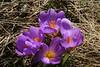 Voglia di primavera!   Feel like spring! (Marco Ottaviani on/off) Tags: natura nature piante plants iridaceae crocus cvernus macro fiori flowers canon marcoottaviani primavera spring