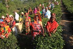 C1_2016-161379 (HamimCHOWDHURY  [Read my profile before you fol) Tags: teagardenportrait girlnature tealeaf workingwomen