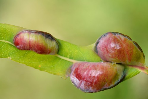 Pontania vesicator (Hymenoptera - Symphyta) galls on Salix purpurea