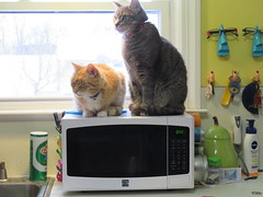 Can you guess which cat proof box has the chicken enchilada filling in it? (andrea z) Tags: pete percy cat orangecat graycat tabby