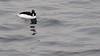 Male Bufflehead (mausgabe) Tags: olympus em1 olympusm40150mmf28 olympusmc14 nyc centralpark thereservoir bird duck male bufflehead