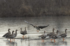 Hey it's cold out here! (pdecell) Tags: kansas bakerwetlands geese birds winter