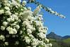 Primavera / Bougainvillea glabra (Arlete M) Tags: primavera bougainvilleaglabra nature natureza brasil brazil piquetesp céuazul bluesky