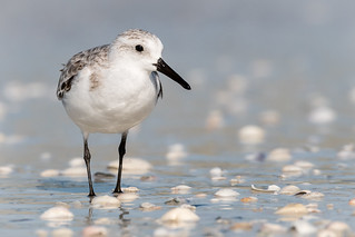 Sanderling, Lee County, FL [Explore 7 January 2017]