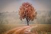 Der einsame Baum (Sascha Wolf) Tags: kalt solitärerbaum tree raureif winter baum natur outdoor tele einsam nebel