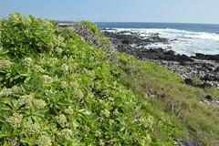Tournefortia (Messerschmidia) argentea, Ka Lae, Hawaii (David A's Photos) Tags: ka lae coast line photography january 2017 hawaii big island messerschmidia tournefortia argentea