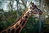 Giraffe (R.O. - Fotografie) Tags: giraffe erlebniszoo hannover zoo outdoor closeup close up flecken stains panasonic lumix dmcfz1000 dmc fz1000 fz 1000 tier animal