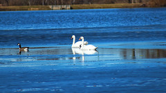 Mute swan (Cygnus olor) (phl_with_a_camera1) Tags: nature michigan mute swan cygnus olor bird water lake animal spring