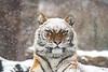 Bengal Tiger in the SNow (Sethf99) Tags: bronxzoo mammal bigcats cats tiger bengaltiger