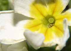 16-IMG_8645 (hemingwayfoto) Tags: blühen blüte blütenstempel blume botanik februar flora frühblüher garten gartenblume gelb gewächs macro natur pflanze primel primulaveris