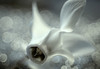 Nights in White Satin (ursulamller900) Tags: themoodyblues inspiredbyasong tessar2850 macro makroringe extensiontubes white macromondays cyclamen