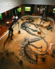 42-21814819 (agathaumas) Tags: animals bones dinosaur exhibit extinctanimal fossil indoors museum naturalsciences ornithischian paleontology people physicalscience saurischian sauropod sciences skeleton stegosaur stegosaurus two twopeople