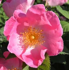 Rosa (zeffcaldera1) Tags: languageofflowers flowers