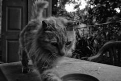 Rita (Jaime Recabal) Tags: canon 40d recabal monochrome blancoynegro blackandwhite cat gato mascota canon1018mm wide