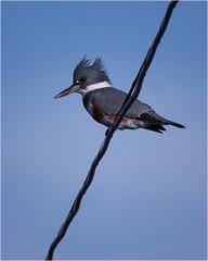 female kingfisher (marneejill) Tags: smileonsunday happyanimals female kingfisher wire perch french creek