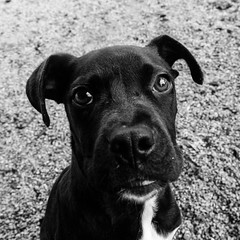 Boi14Jan1700045-Edit.jpg (fredstrobel) Tags: dogs pawsatanta phototype atlanta blackandwhite usa animals ga pets places pawsdogs decatur georgia unitedstates us