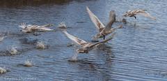 Swans - Ready for take off. (redhead126) Tags: hamwall swans cygnets takeoff