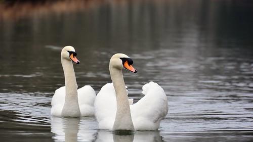 Weiße Schwäne - Swan - Cygnini