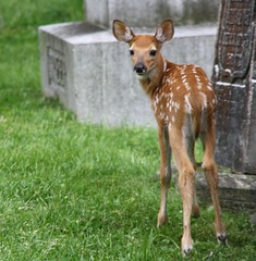 Fawn (melaniedevine619) Tags: baby nature cemetery graveyard soft wildlife tombstone adorable deer spots fawn spotted