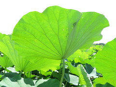 green (oneroadlucky) Tags: plant flower green nature waterlily lotus