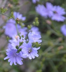ChicoryWithBug (T's PL) Tags: flower bug virginia nikon dof outdoor lexington depthoffield va cichoriumintybus lexingtonva yabbadabbadoo commonchicory d7000 tamron18270 nikontamron nikond7000 tamron18270mmf3563diiivcpzd chessienaturetrail