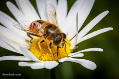 Honey Bee Mimicking Fly (DaveHuth) Tags: ny flower yard insect fly blossom daisy houghton arthropod diptera pollination mimickry honeybeemimic