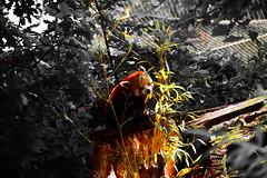 Red pandas (gary.tootle17) Tags: nikon pandas redpandas d3300