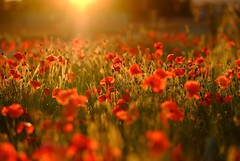 And they call it poppy love (The Green Album) Tags: sunset red summer flower love field countryside twilight seed glorious poppy poppies backlit wiltshire osmonds