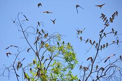 Bank Swallows in Sac. Valley (CaliforniaDFW) Tags: california valley swallows 2011 bjerke