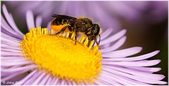 Little Bee I (lukiassaikul) Tags: flowers nature animals fauna daisies feeding insects bee nectar wildanimals macrophotography pollens