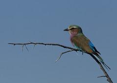 Lilac Breasted Roller Etosha E48G6398 (susan yeomans) Tags: africa bird canon wildlife safari roller namibia etosha lilacbreastedroller africasafari etoshanationalpark namibiaetosha canon1dmark4 canon1dmk4