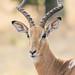Curious Impala