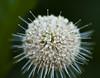 Buttonbush explosion (back stage) Tags: white flower macro yard garden dof mo springfield buttonbush sigma105mmf28 sonyalpha700