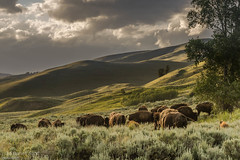 Evening Grazing (stephen.shoff) Tags: yellowstone bison june2015