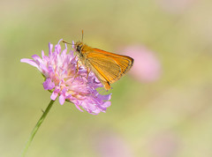 Fly High Butterfly (marypink) Tags: macro butterfly focus bokeh details natura farfalla insetto thymelicussylvestris nikkor105f28 parcodelticino sentierodellefarfalle nikond7200