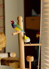 (Jenny Yang) Tags: pet bird lady finch gouldian