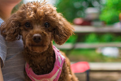 Little Luna (riverkim22) Tags: ontario puppy poodle sandbanks provincialparks