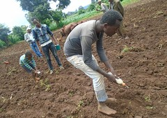 Line sowing of tef (isfm ethiopia) Tags: 2016 oromia gudeya bila teff line sowing training improved agronomy