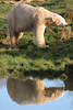 Polar Bear and Reflection (diedintragedy) Tags: yorkshirewildlifepark doncaster zoo animals wildlife wildanimals captivity animalsincaptivity polar bear polarbear bigbear whitebear captivepolarbear reflection polarbearreflection reflectioninthewater