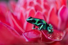 "You Are What You Eat   1366 (Dr DAD (Daniel A D'Auria MD)) Tags: ""poisondartfrog"" frog amphibian ""poisonfrog"" ""greenandblackpoisondartfrog"" ""poisonarrowfrog"" green ""bluejeansfrog"" ""strawberrypoisondartfrog"" nature wildlife ""toxicanimals"" ""wildlifephotography"" ""naturephotography"" ""costarica"" ""wildlifeofcostarica"" ""centralamerica"" ""wildlifeofcentralamerica"" ""children'swildlifebooksbydanielad'auriamd"" ""daneilad'auriamd"" ""drdadbooks"" ""december2016"""